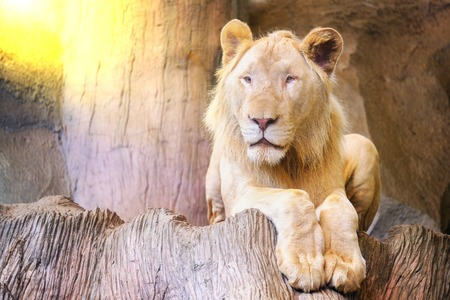A lion on a rocky cliff with morning sun. Stock Photo