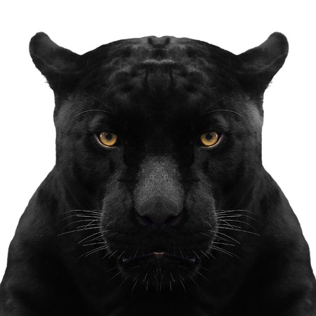 black panther shot close up with white background
