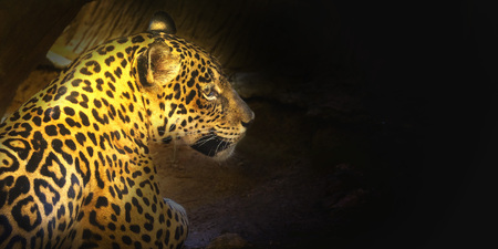 Leopard with morning sunset Sit on the floor Space for font Stock Photo