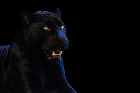 Panther with on a black background space for font
