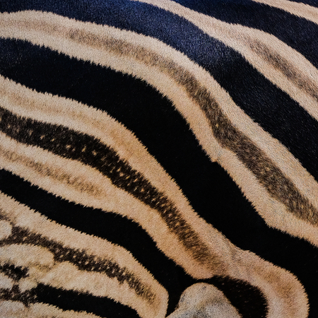 south africa kruger wildlife nature reserve and wild zebra skin abstract background