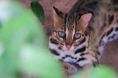 Leopard cat (Prionailurus bengalensis)Looking up at you through the leaves.