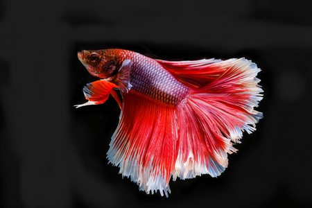 Siamese betta fish beautiful color with black background Stockfoto