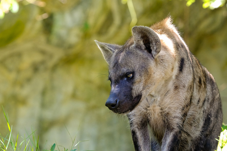 Portrait of free roaming african spotted hyena