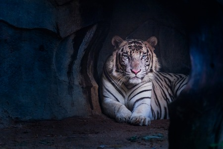 White tiger staring from the cave