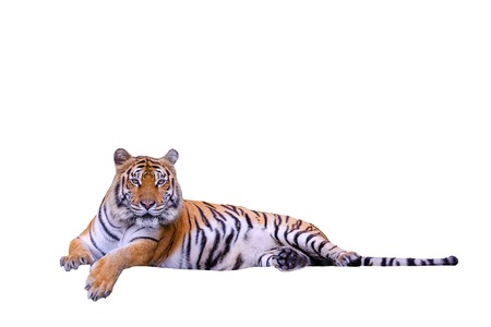 Bengal tiger flop on a white background