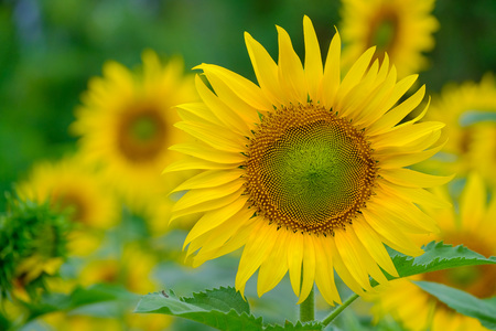 Sunflower in the morning light Фото со стока