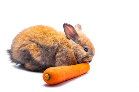 Rabbit eating carrots on a white background