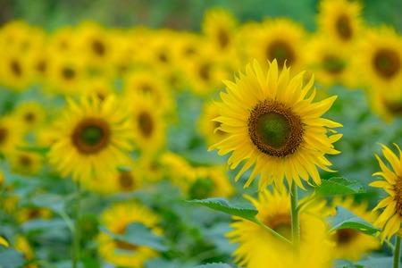 Sunflower in the morning light