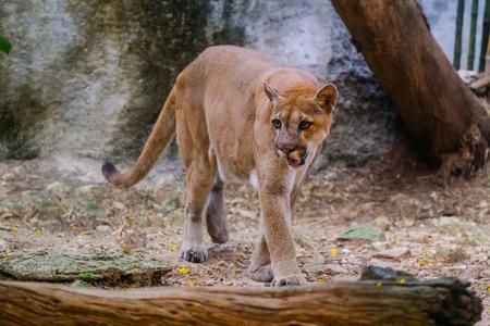 Cougar maschio adulto (Puma concolor) Archivio Fotografico