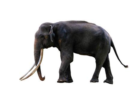 Full body of asian elephant isolated on white background