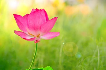 Lotus y el atardecer de la mañana