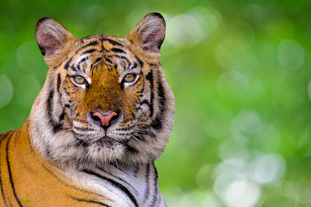 The tiger is behind the green branches. (Indochinese tiger)