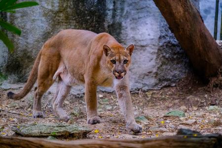 Puma cougar ritratto nello zoo (Puma concolor)