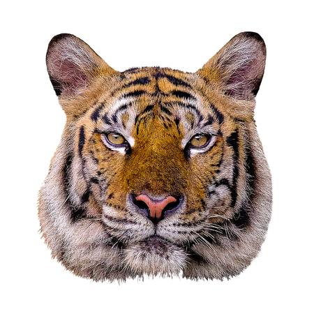 Cabeza de tigre sobre fondo blanco.