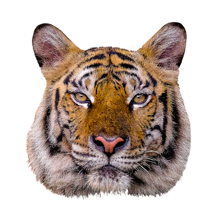 Tiger head on white background