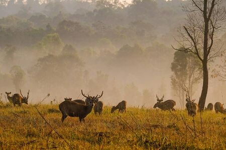 Family Sunset Deer at Thung Kramang Chaiyaphum Province, Thailand Stok Fotoğraf
