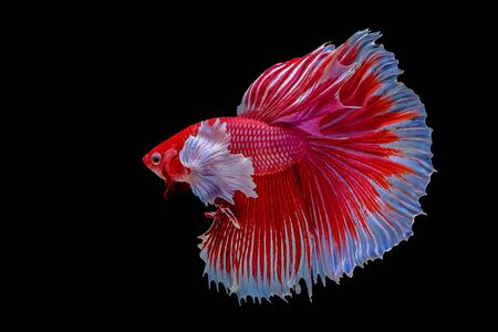 Betta fish, siamese fighting fish on black background Banque d'images - 129543586