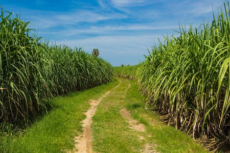 Sugarcane field in blue sky and white cloud in Thailand Reklamní fotografie