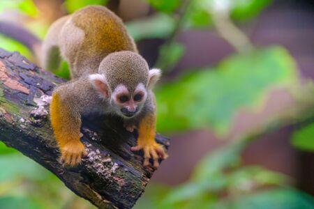 Squirrel Monkey on branch of tree  animals in wilderness