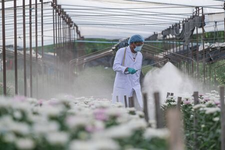 Male researchers inject fertilizer into chrysanthemum experiment plots Stock fotó