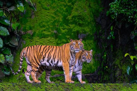 Beautiful Bengal tiger green tiger in forest show  nature.