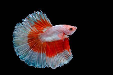 Multi color Siamese fighting fish (Rosetail)(Halfmoon),fighting fish,Betta splendens