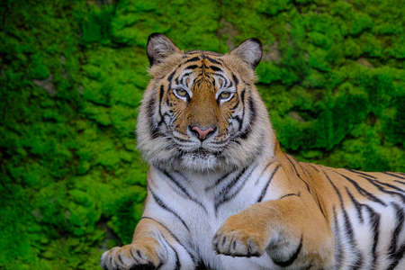 A tiger on a green moss background