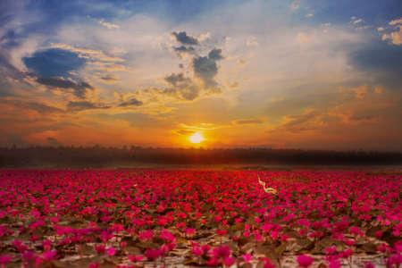 Red Lotus Sea at sunrise at Nong Han Lake, Udon Thani, Thailand
