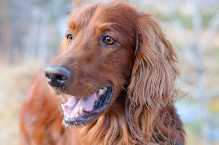 Beautiful Irish setter looks with surprise in his eyes. photo