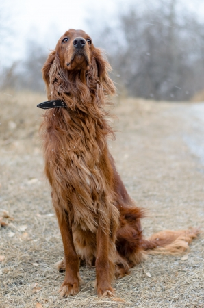 Irish setter for a walk outdoors in windy, snowy weather. photo