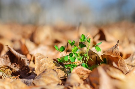 Unfading green plant among the fallen-down dry foliage. photo