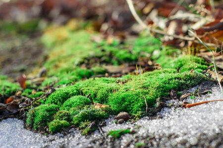 thawing: Bright green moss in an environment of thawing snow.