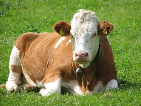 Cow lying in the grass photo
