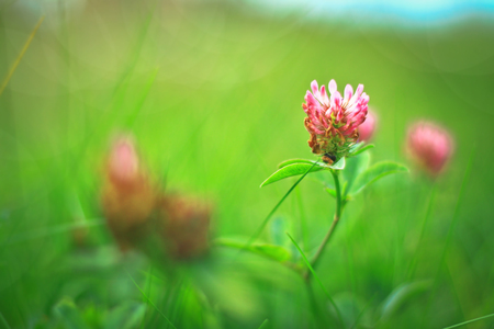 patrick: Grass and clover in a meadow in the sun. Green floral background