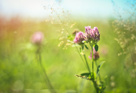 Grass and purple - pink clover in a meadow in the sun. Green floral background