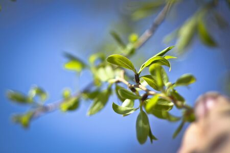 Spring branch of fruit trees. Woken by the nature of winter. Green leaves. Blur bokeh background Stock Photo