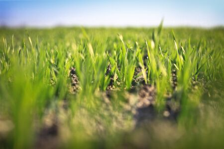 Bright green grass on a clear spring day. Cultivating crops in the field. blurred background Stock fotó