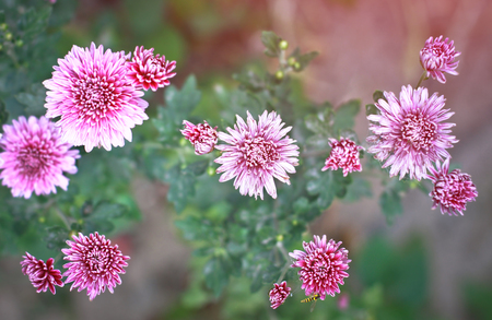 Flower macro chrysanthemum on a blurred background. Floral vintage theme Stock Photo