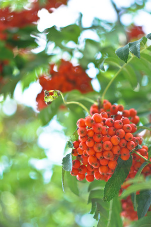 Red berries of mountain ash on the background of wood and leaves. Summer, autumn colorful background. Stock Photo for design.