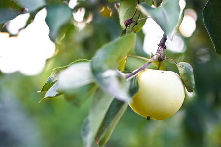 Apple tree close-up. Fruits grow in the natural environment. an ecological product for vegetarians. Stock Photo for design