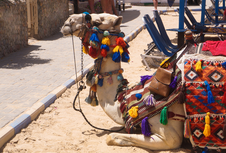 Lying on the beach empty camel pet. mammal in national costume. Egyptian culture. Stock photo