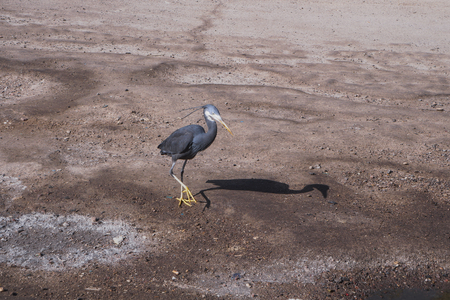 Beautiful black gray bird in Egypt on dry desert sand. Heron going for fishing in the nile. Stock photos Stock Photo