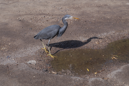 Beautiful black gray bird in Egypt on dry desert sand. Heron going for fishing in the nile. Stock photos Stok Fotoğraf