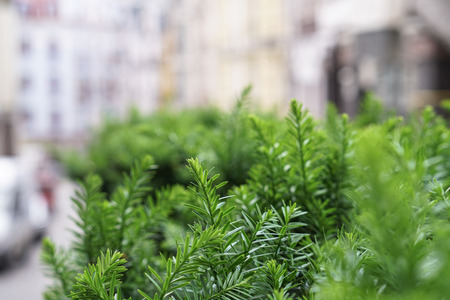 Beautiful green background for your design. Bushes with small leaves.