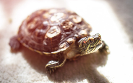 Beautiful home turtle crawling around the house. Pet study apartment.