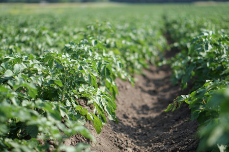 Farm garden with green potatoes during ripening. Industrial business in rural areas. Stock background, photo. Stok Fotoğraf