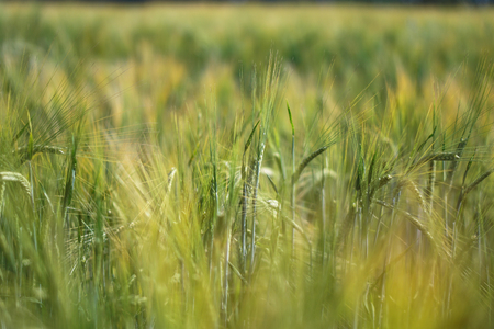 Farm garden sown wheat before maturation. farm field with a big harvest. Beautiful golden bread. Stock background, photo Stok Fotoğraf