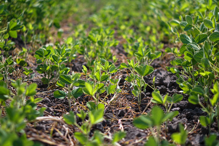 Soybean field at the beginning of summer. Drought and dehydrated plants. Vegetarian food soy. Stock background, photo