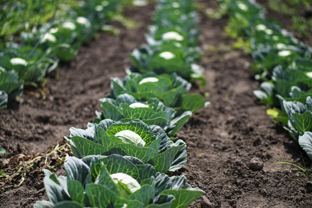 Cabbage in the garden of the farmer. Field with vegetarian plants in summer. Stock background, photo